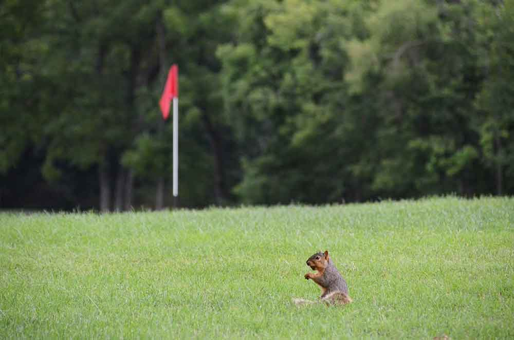 The-Falls-Golf-Club,-O'Fallon,-MO-Squirrel